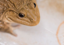 Close up frog. In the farm Stock Images