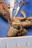 Close up of frog and fish. Comparative anatomy biology lab of a frog and fish dissection Stock Photography
