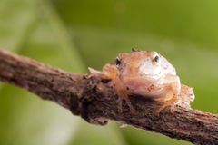 Close up of frog, focus on head. Mix with light green nature color Royalty Free Stock Photos
