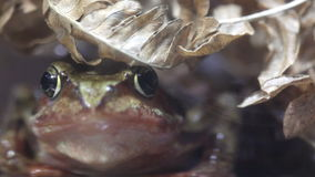 Close up of a Frog Royalty Free Stock Photo