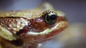 Close up of a Frog stock footage