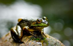 Close up of frog Royalty Free Stock Image