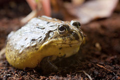 Close-up frog sitting on nuture Royalty Free Stock Photos