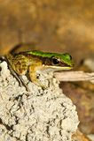 Close up frog on stone Stock Photos