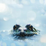 Close up frog watching from the wather Stock Photography