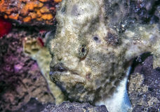 Close up of frogfish Royalty Free Stock Photography