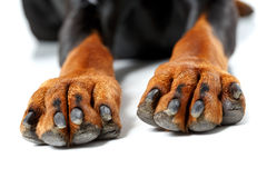 Close up of front legs by dog Royalty Free Stock Image