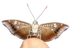 Close up front of male mango baron butterfly on finger Royalty Free Stock Image
