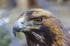 Close up front portrait of Golden eagle. stock photos