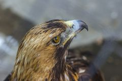 Close up front portrait of Golden eagle. stock photo