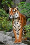 Close up front portrait of Indochinese tiger. Close up full length front portrait of one young Indochinese tiger standing on the rock and looking at camera, low Stock Photography