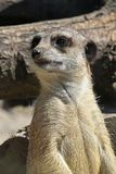 Close up portrait of meerkat watching alerted. Close up front portrait of one meerkat looking away alerted, low angle view Royalty Free Stock Image