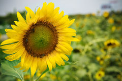 Close up front of sun flowers blooming in green field use for mu Stock Photo