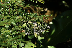 Close-up front view of black white colored butterfly sitting on small white flower eating its nectar. Stock Photography