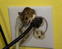 Close up front view of a brown house mouse straddling two wires in an electrical outlet. A juvenile house mouse sitting in the middle of a four prong electrical Royalty Free Stock Photography