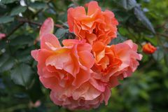 Close-up front view of complex bright orange flower grade climbi. Close-up front view of four bright orange flower varieties caucasian curly roses with drops of Royalty Free Stock Images