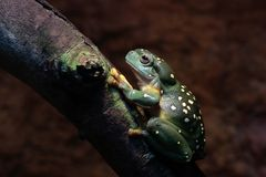 Tree Frog. Close up front view of Splendid Tree Frog perched on branch Stock Photography