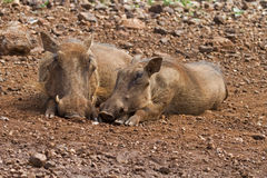 Close-up front view of two warthog lying together Royalty Free Stock Photography