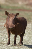 Close-up front view of a warthog. Phacochoerus aethioplus royalty free stock images