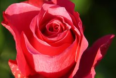 Close-up front view of the which opens a bright pink roses flowe. Close-up front view of the which opens of a large bright pink flower Caucasian roses on a Royalty Free Stock Image