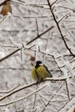 Close-up front view of a yellow caucasian titmouse in snowy bran. Close-up front view of Caucasian yellow titmouse with black tie sitting in snowy tree branches royalty free stock photos