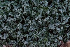 Close up of frost covers clover leaves in early morning. Close up of frost covers clover leaves in the early morning royalty free stock images