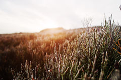 Close up of frost pine grass on mountain hill with sun light Royalty Free Stock Photos