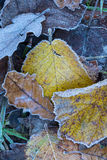Close up of frosted autumn leaves Royalty Free Stock Photo