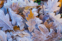 Close up of frosted autumn leaves Stock Photography
