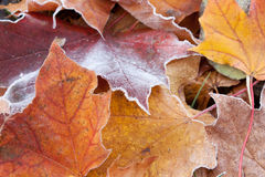 Close-up of frosted red and yellow autumn maple Royalty Free Stock Images