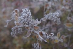 Frozen autumnal flower plant with frost-dew. Close-up of frozen autumnal leaves and small flowers with frost-dew on it. Cold autumn morning Stock Photo