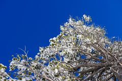 Close up of frozen branches and snow falling against blue sky. Royalty Free Stock Photos