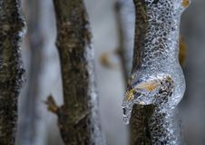 Close up of a frozen broken glass like tree branch with a yellow leaf stock images