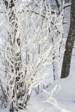Frozen Branches In A Scandinavian Countryside. A close up from a frozen buch and its branches somewhere in Sweden in the middle of the winter Royalty Free Stock Photography