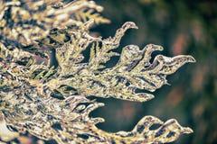 Close Up of Frozen Cedar Tree - Retro Stock Images