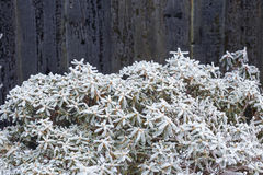 Close up of frozen flower covered with ice and snow, very shallo. W focus Royalty Free Stock Photo