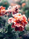Frozen flowers Stock Photography