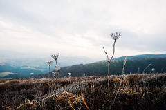 Close up of frozen grass in the winter morning in the mountains. Royalty Free Stock Image