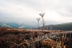 Close up of frozen grass in the winter morning in the mountains. Stock Photography