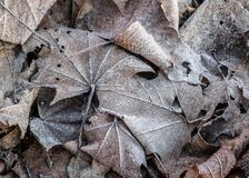 Close up of frozen hoarfrost maple leaf among frosty grass, leaf stock photos