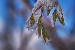 Close-up of frozen leaves. In winter Stock Photography