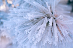 Close up frozen pine branch in winter forest at sunset Royalty Free Stock Photos