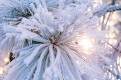 Close up frozen pine branch in winter forest at sunset Stock Image