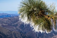 Close up of frozen pine needles on a cold winter day on top of Mt Hamilton, San Francisco bay area in the background, San Jose,. California stock images