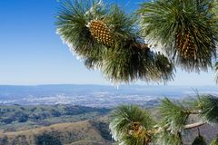 Close up of frozen pine needles and cones, on a cold winter day on top of Mt Hamilton, San Francisco bay area in the background,. San Jose, California royalty free stock photos