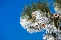 Close up of frozen pine needles and cones, on a cold winter day on top of Mt Hamilton, San Jose, south San Francisco bay area,. California royalty free stock photos