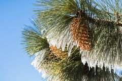 Close up of frozen pine needles and cones, on a cold winter day on top of Mt Hamilton, San Jose, south San Francisco bay area,. California royalty free stock photography