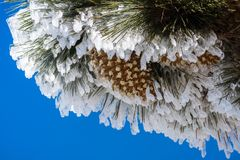Close up of frozen pine needles and cones, on a cold winter day on top of Mt Hamilton, San Jose, south San Francisco bay area,. California stock photography