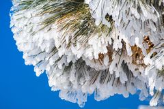 Close up of frozen pine needles and cones, on a cold winter day on top of Mt Hamilton, San Jose, south San Francisco bay area,. California royalty free stock photo