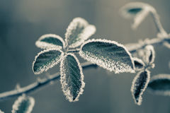 Close up of frozen plant Royalty Free Stock Images